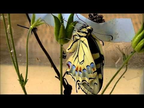 ▶ Koninginnepage, van rups tot vlinder, in foto's en video - YouTube