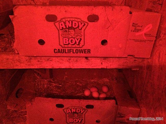 incubation naturelle - oeufs de poules - poule qui couve - couvée - poulailler