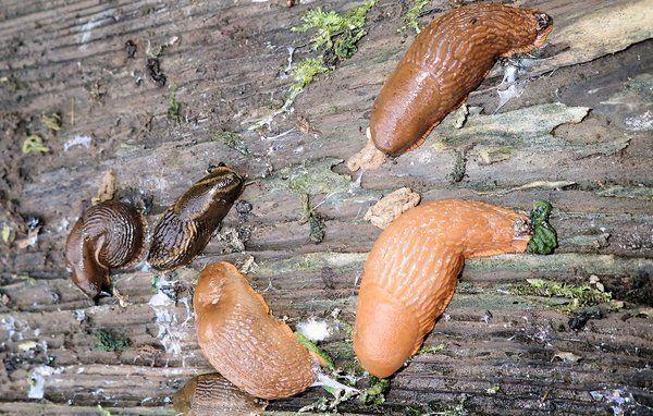 Er sneglegift farligt for havens dyr?