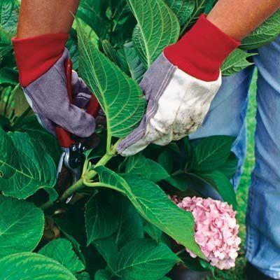 17 mejores ideas sobre poda de hortensias en pinterest - Cuando podar las hortensias ...