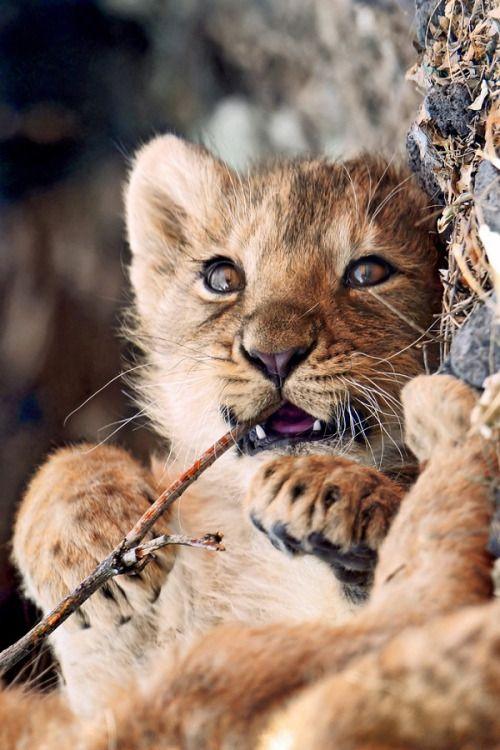 Adorable lionceau en pleine dégustation.
