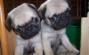 Double the cute...: Puggi, Pets Animal, Baby