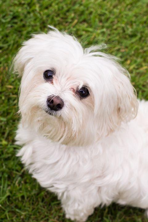 Maltese Maltese Maltese Dogs Toy Dog Breeds Miniature Dog Breeds