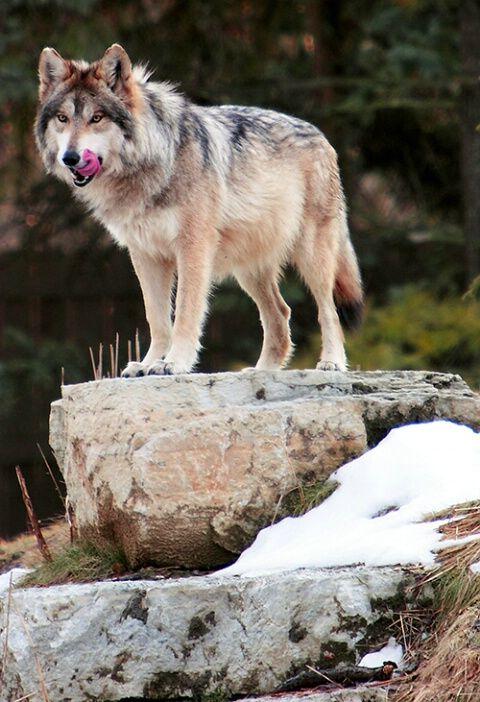 mexican grey wolf #inneranimal #spirithoods