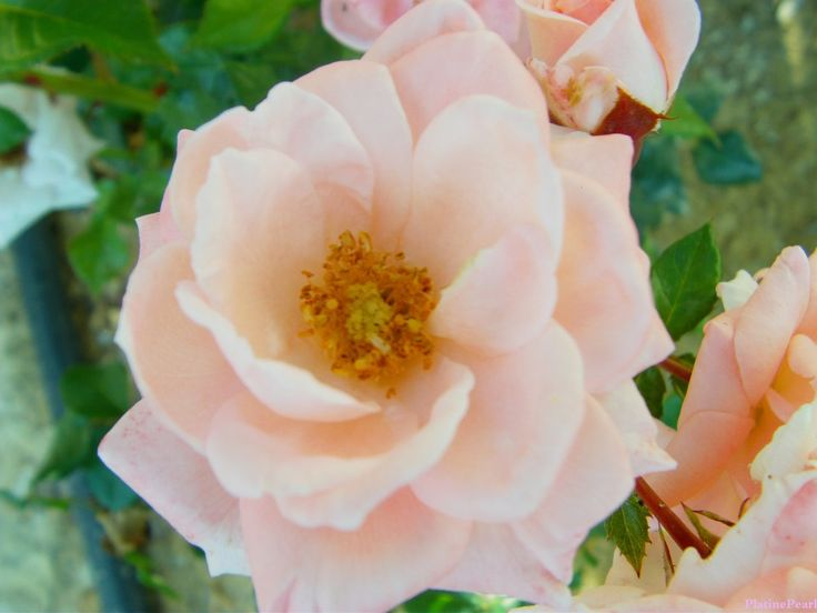 #platinepearl #rose #serenity stunning summer rose #forward:)
