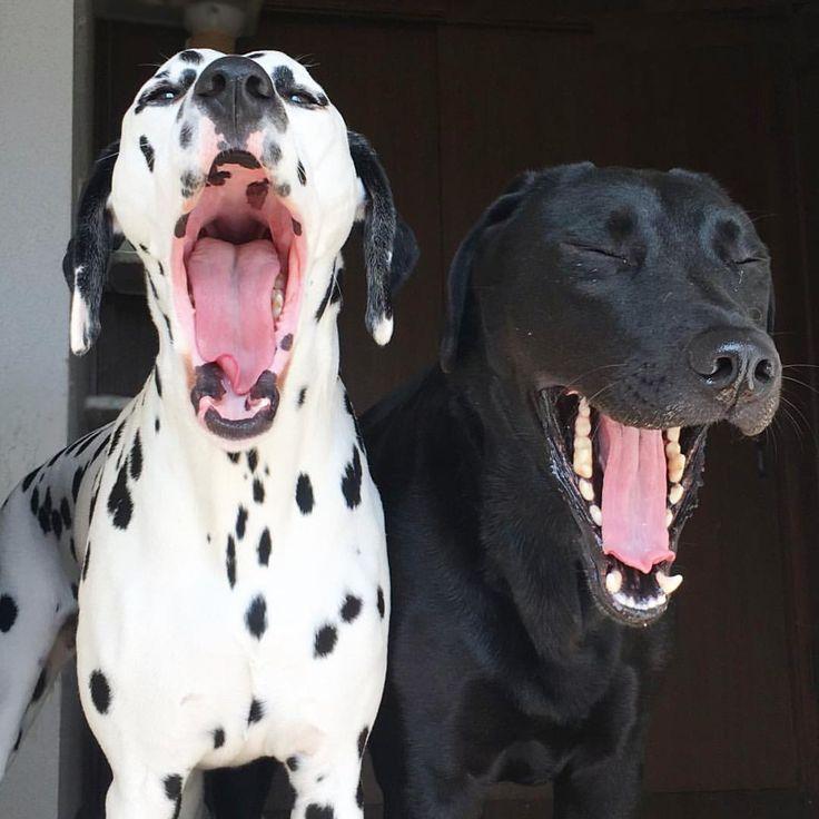 いいね!273件、コメント6件 ― Nero&Vickyさん(@vicky_0224_)のInstagramアカウント: 「#dog#dalmatian#labrador#blacklab#nero#sleepy#sleepydog#doglover#dogstagram#dogs#cute#funny#gm#gn#yawn#photo#photooftheday#lol#instagood#instadaily#love#instadog#pets#yeah#haha#happy#smile#adorable#doggy#sunday」