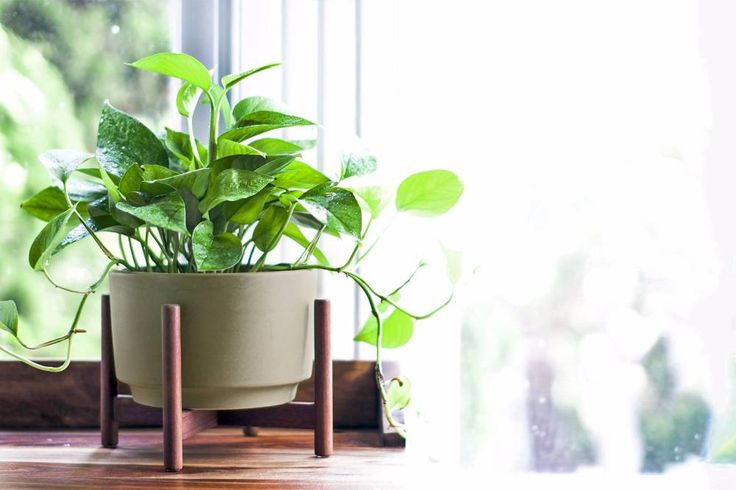 Cascading Pothos - Free plant delivery in the San Francisco and Los Angeles areas by Léon & George