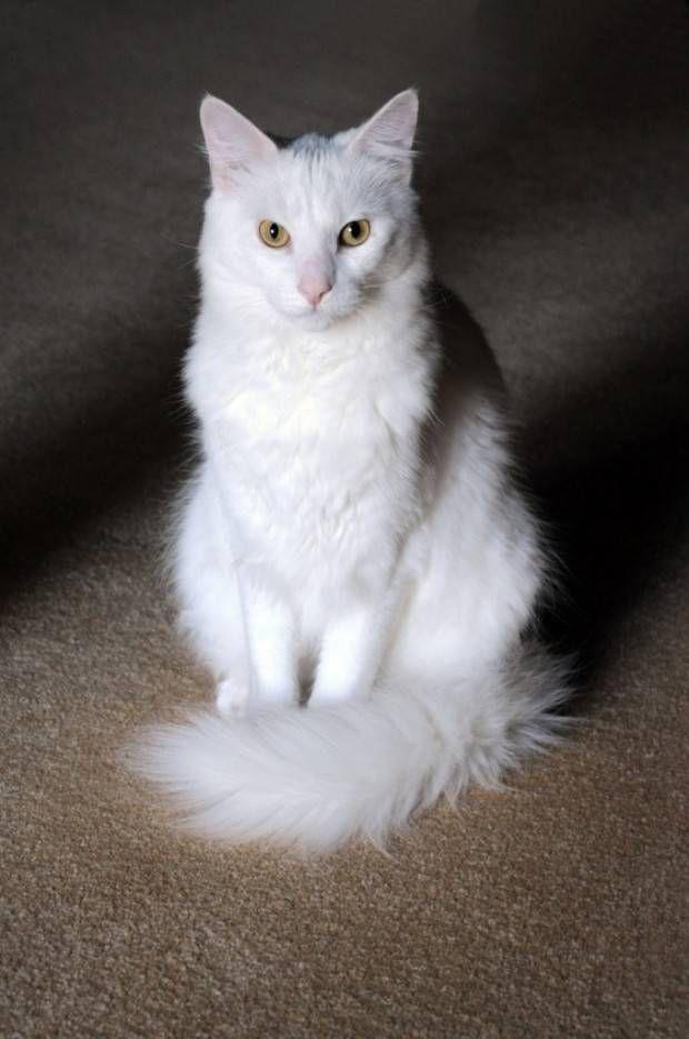 Angorá | Tudo Sobre a Raça de Gato Angorá