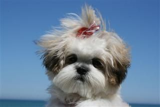 Shih-Tzu/Maltese mix... what a face!  <3
