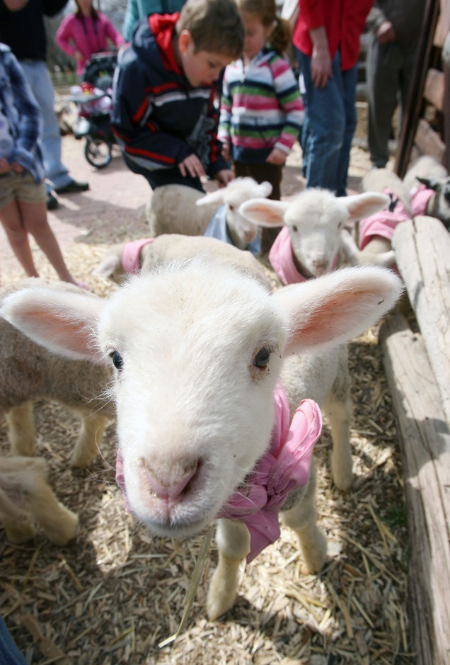 Lambs at the baby animal barn at This Is the Place Heritage Park in Salt Lake City.