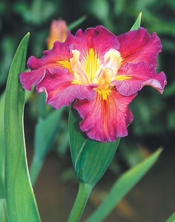 Iris Joie de Vivre,buy Louisiana Iris for sale,Perennial-Plant Delights Nursery, Inc.