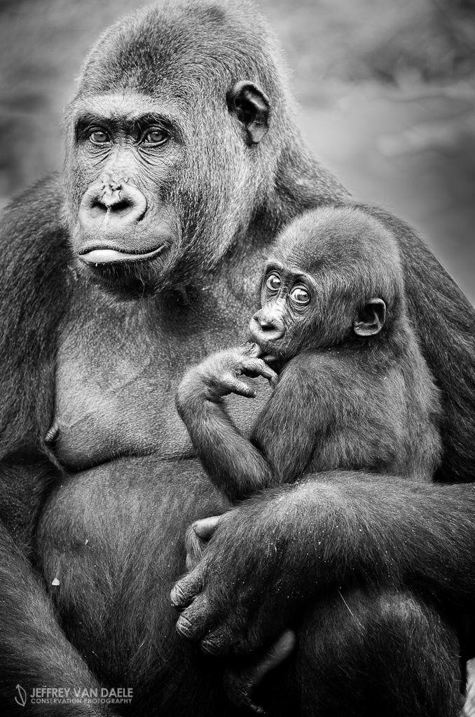 Gorilla (Wildpark) by Jeffrey Van Daele on 500px