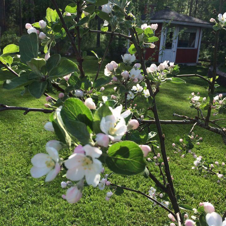 Omenapuu kukkii lupaavasti.