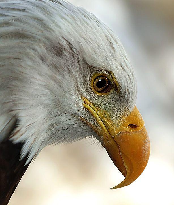 Белый орел фото животные