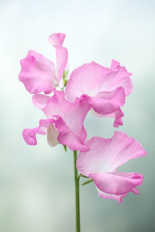 Sweet Pea 'Gwendoline' Lathyrus odoratus