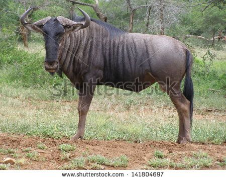 Blue Wildebeest Stock Photos, Images, & Pictures | Shutterstock