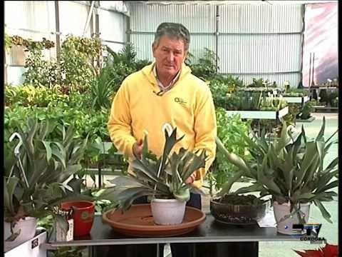El jardinero en casa - Platycerium - YouTube