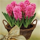 We'll deliver this Scented Indoor Hyacinth just in time for Christmas!