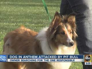 """A pit bull attacks Roxie, a Shetland Sheepdog on a walk. """"[It] picked her up and literally had her up in the air... she was just howling and screaming like she was getting killed. """"  Roxie was bitten on her stomach and leg, requiring $2k in vet bills, and is traumatized by the attack.  The pit bull's owner lied to her about her contact information, and disappeared. (Jan 2013, AZ)…"""