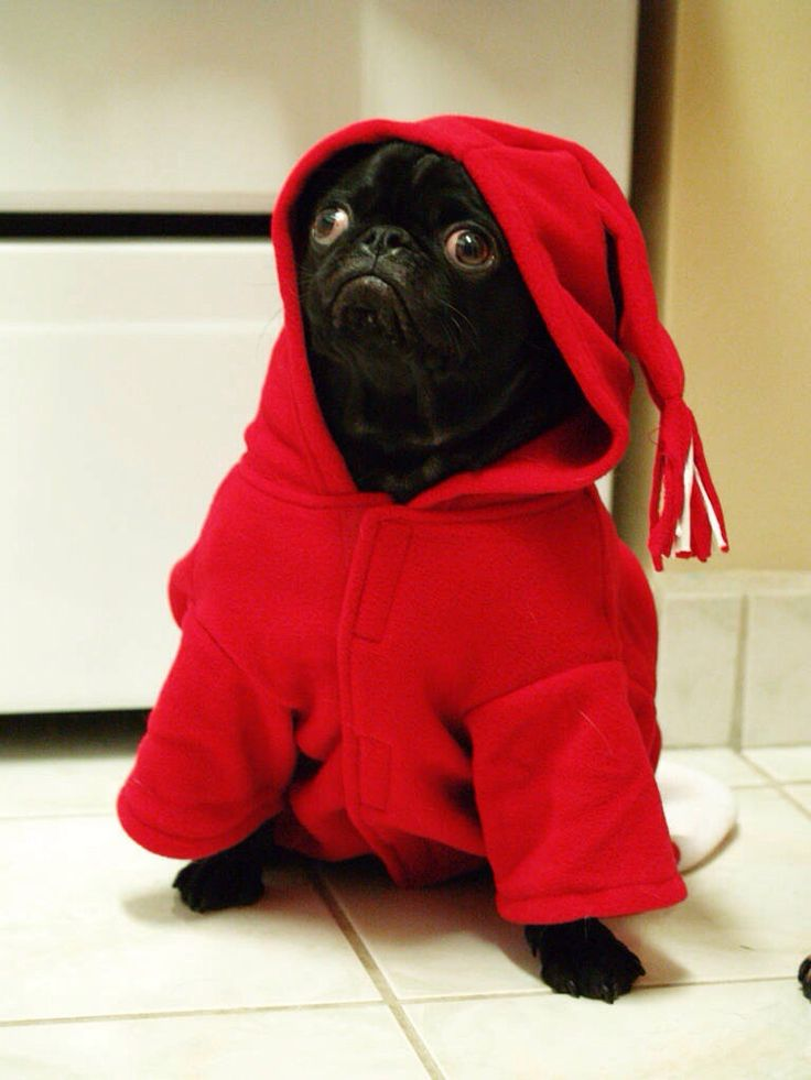 lady pug in red