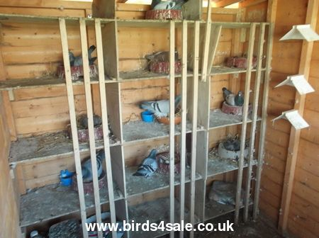 pigeon lofts | RACING PIGEON LOFT For Sale - Birds For Sale With Free Advertising on ...
