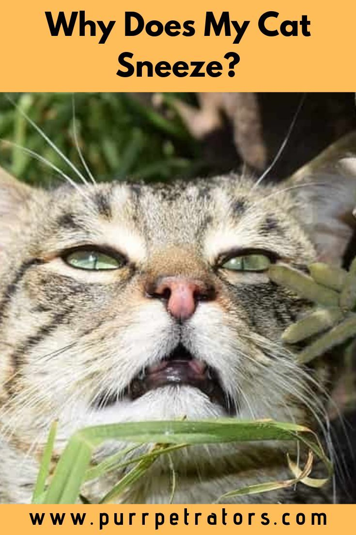 You May Hear The Sound Of A Cat Sneeze From Time To Time And Wonder Why That Is Cats Do Sneeze Like Humans But Often Cat Sneezing Cats Animals Of The