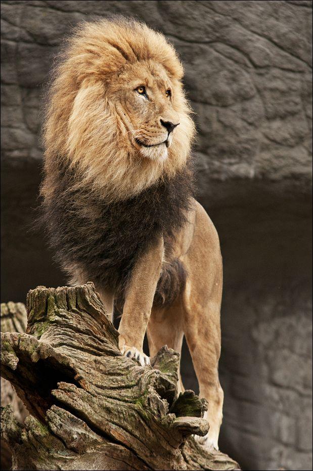Ik hou ook vee van leeuwen en tijgers ik vind het echt super mooie dieren ze zijn zeker 1 van mijn lievelingsdieren :)