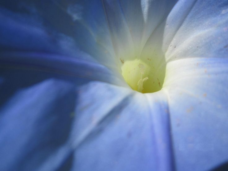 Ах, чашечка, ах, чашечка вьюнка Сияет голубым в орнаменте зелёном. ( Джамрина) Для получение семян. Некоторые растения специально выращивают в тесных горшках, т.к. это побуждает их к цветению. При этом растения перестают жировать и наращивать зелёную массу, а, чувствуя нехватку питания, быстрее выбрасывают соцветия. Здесь действует закон природы о выживании и сохранении вида. http://www.gardenia.ru/pages/ipomea_001.htm