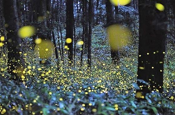 Prachtige foto's van duizenden vuurvliegjes!