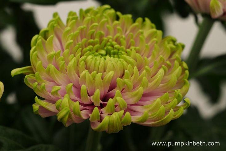 Chrysanthemum 'Rossano Charlotte' (Rossano Series).