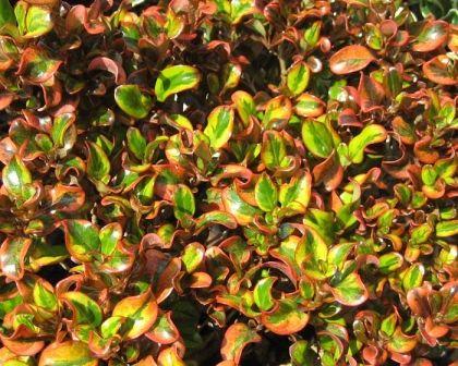 Coprosma repens Variety Karo Red