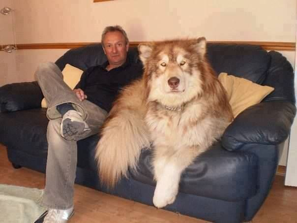 Giant Alaskan Malamute on Couch
