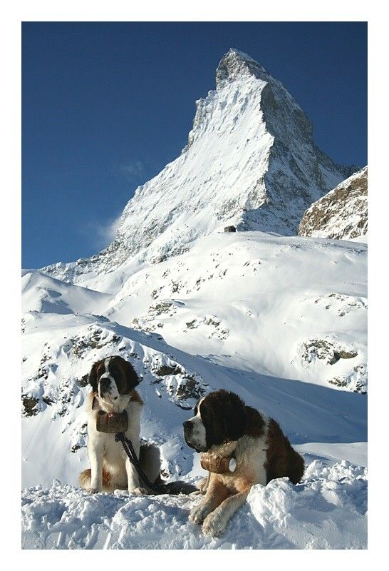 """Swiss Icons"" - photography by sleon on trekearth.com:  These two Saint Bernards seem to be enjoying the very cold wintry weather as they lounge in the snow."