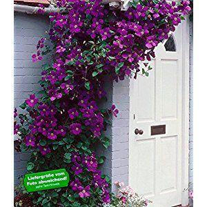 BALDUR-Garten Winterhart Clematis The President® Kletterpflanze, 1 Pflanze