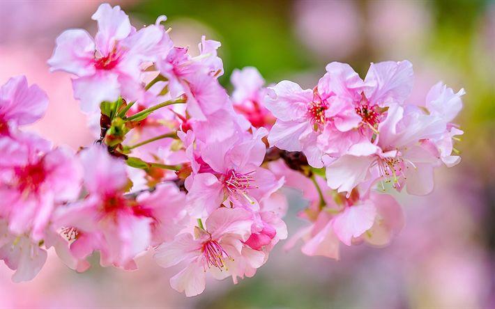 Download wallpapers Cherry Blossom, Spring, Pink Flowers, 4K, Spring Flowers, Sakura, Garden