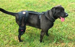 Torn acl, meniscus or ligament? Try these best dog knee braces