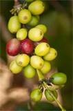 Ripened to perfection, Blue Mountain Arabica coffee beans are only harvested when fully ripened cherry red!!