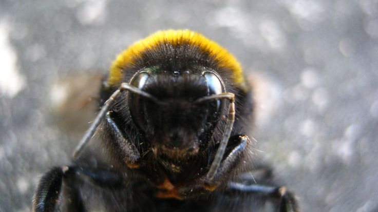 Amazing close up of a Bumblebee