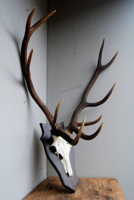 Symetrisch gewei van een kapitaal edelhert. Collection De Jachtkamer