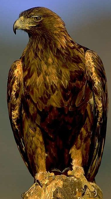 "Golden Eagle, One of the many symbols of ""Power and High Confidence"" My respect for nature selection of them to inspire us and be better"