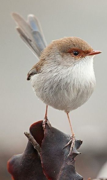 Superb fairy-wren  |nature| |wild life| #nature #wildlife  https://biopop.com/