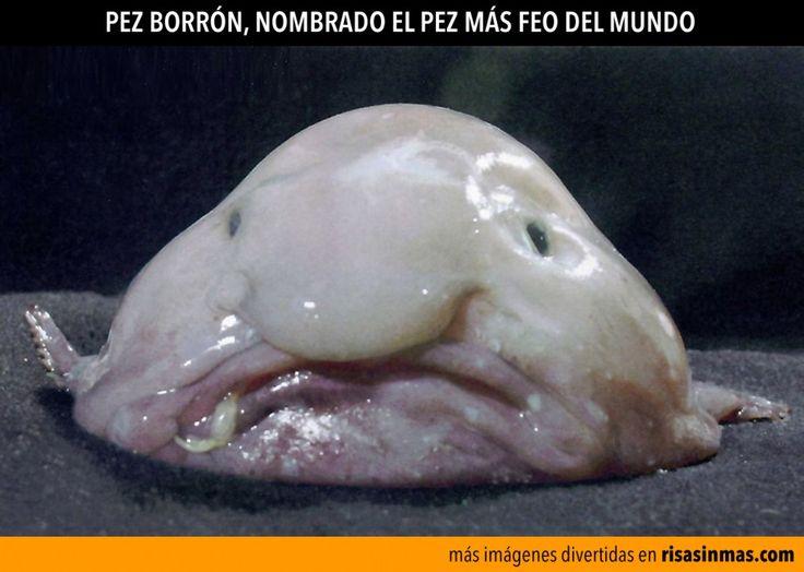 Pez borrón (Psychrolutes marcidus), el pez más feo del mundo.