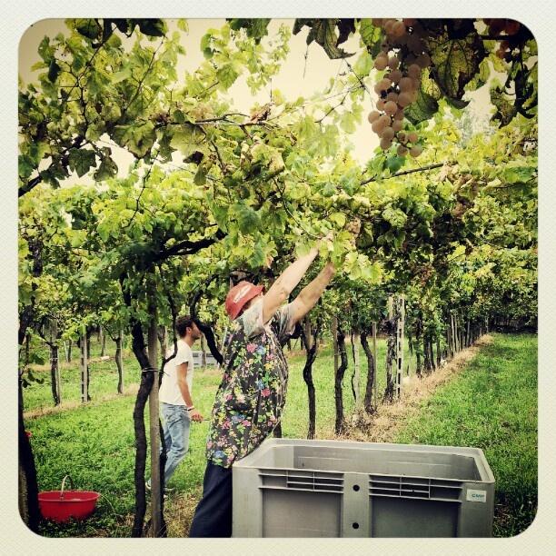 Vendemmiatrice #erbaluce #vendemmia #harvest #caluso » @robji_m » Instagram Profile » Followgram