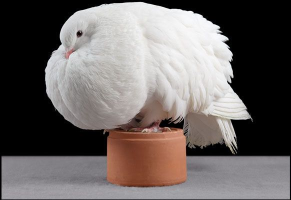 fancy pigeons    fancy pigeons jacobin    fancy pigeons varieties     fancy pigeons king    white fancy pigeons   fancy pigeons for sale in kerala    race pigeon for sale