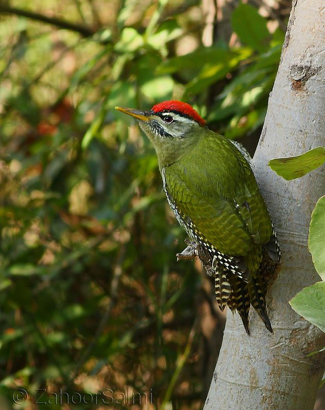 Scaly-bellied green woodpecker | Flickr - Photo Sharing!