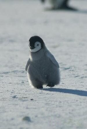 Just a little penguin walking down the...ice.