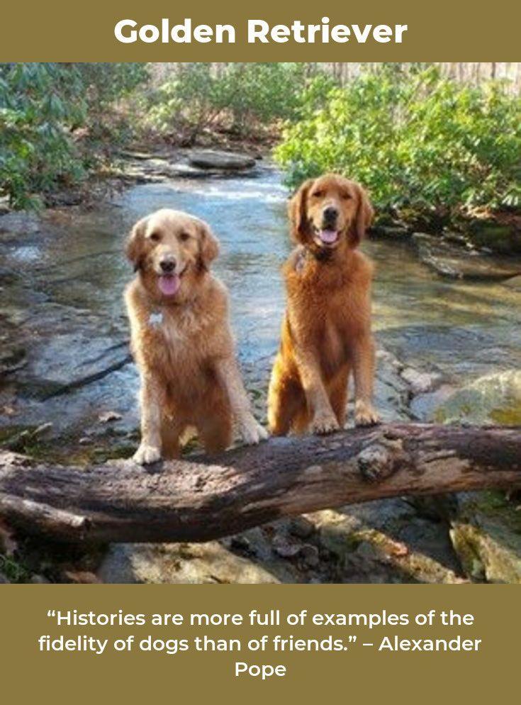 Golden Retriever Puppy Goldenretrievertoday Goldenretrieverbrasil Golden Retriever Dogs Golden Retriever Most Beautiful Dog Breeds