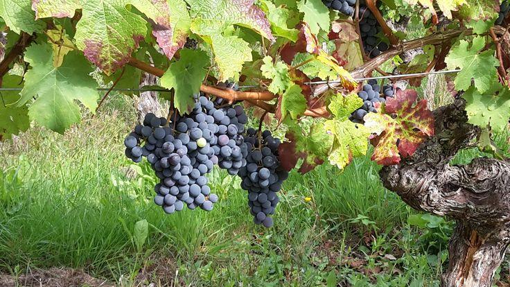 Vins Vignes Randos 2015 c'est Fini ! Retour en images sur l'une des 15 randos vignes proposées par l'interprofession Vin du Val de Loire. Un joli parcours de 9 km au cœur du vignoble d'Azay le Rideau autour de la commune de Cheillé. Six étapes dégustation dans les caves de six producteurs de...