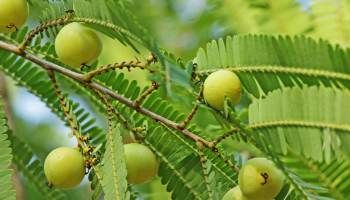 7 Benefits of Indian Gooseberry (Amla) Juice for Hairs.