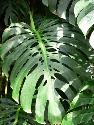 Swiss cheese plants' iconic leaves help them to avoid stress, according to a US scientist.    Their familiar hole-riddled leaves allow the plants to capture sunlight more regularly, his research suggests.    The counterintuitive idea explains how such plants can survive in shady rainforests.    Commonly grown as house plants, they are found in the wild from southern Mexico to Colombia.